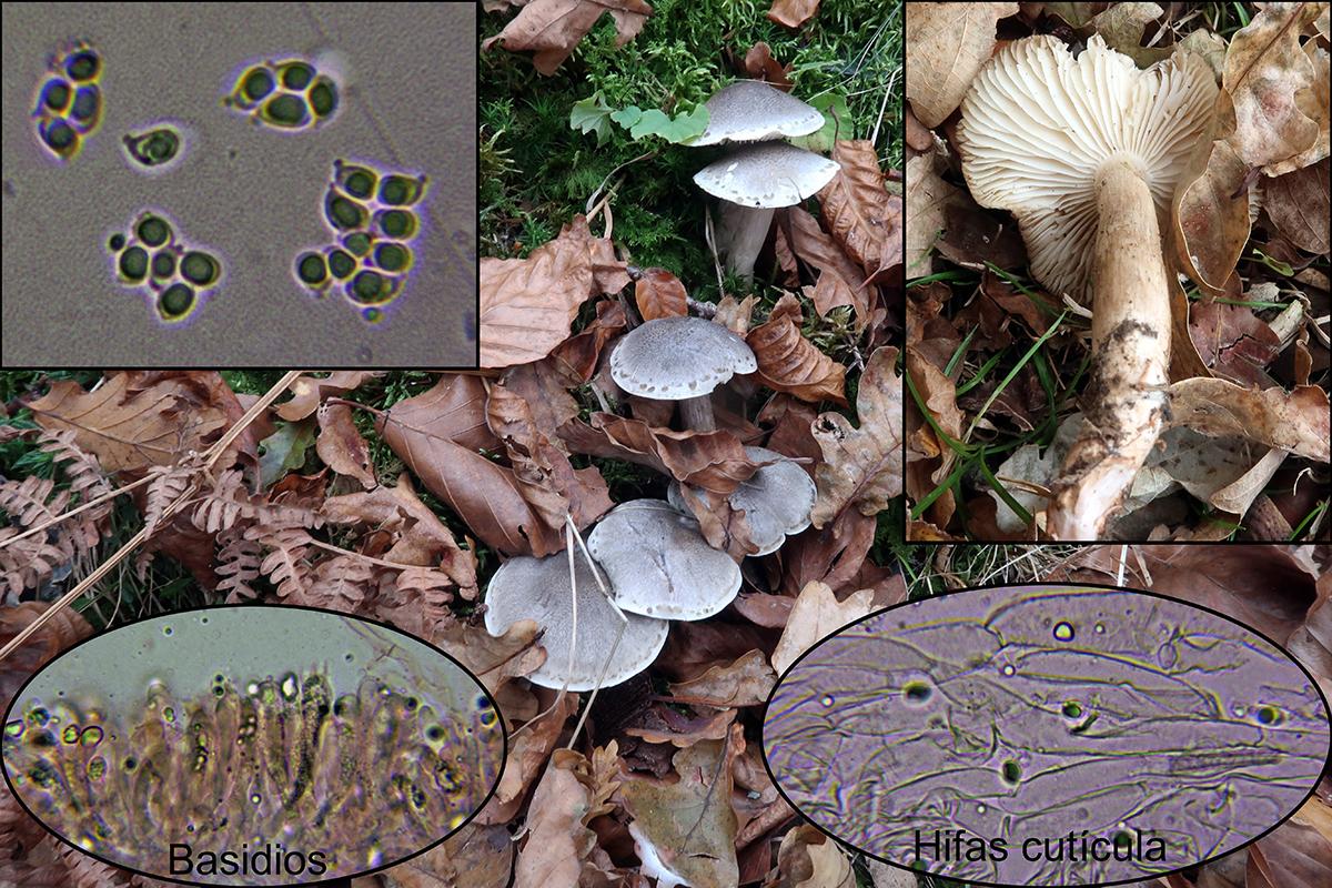 Tricholomasaponaceump.jpg