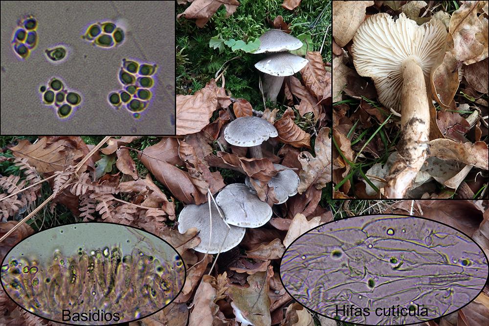 Tricholomasaponaceump_2019-10-17.jpg