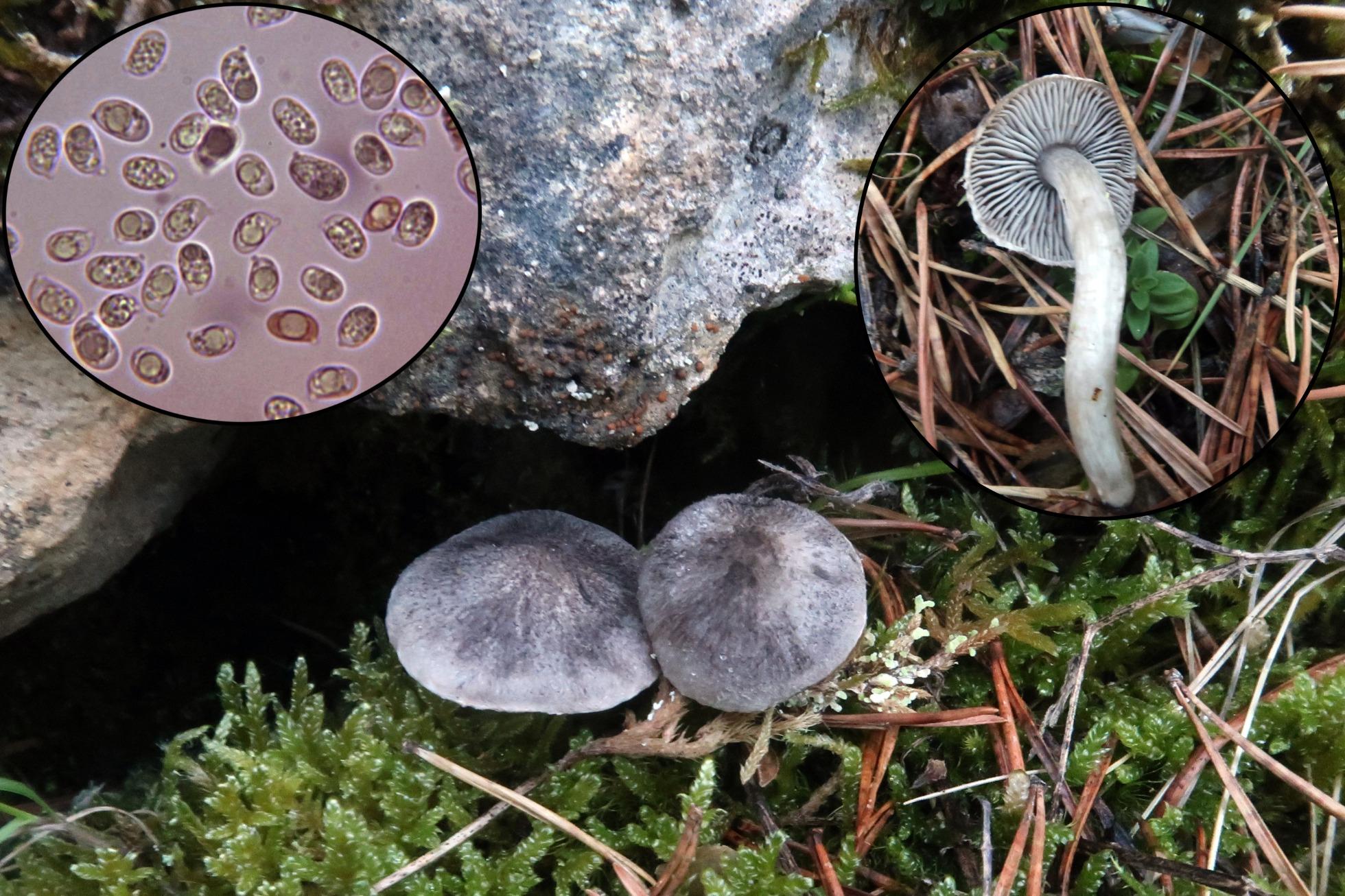 Tricholomaterreump.jpg