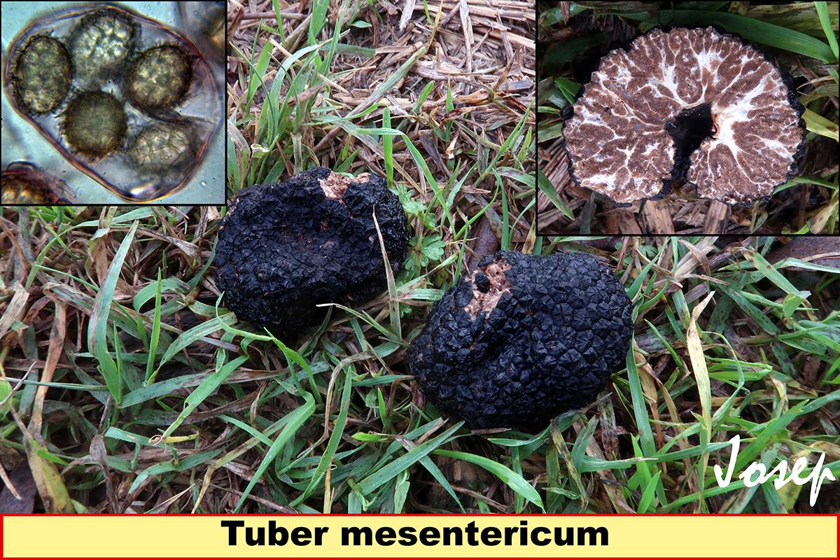 Tubermesentericum.jpg
