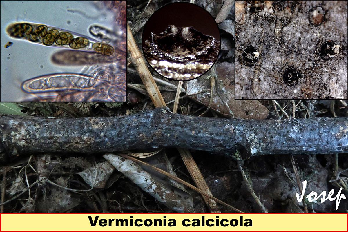 Vermiconiacalcicola.jpg