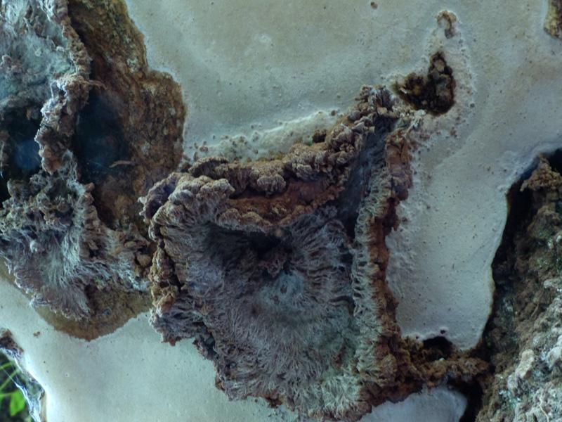 Sporophagomyceschrysostomus964.jpg