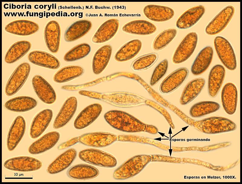 12Ciboria_coryli_Esporas_Microscopy_Microscopia.jpg