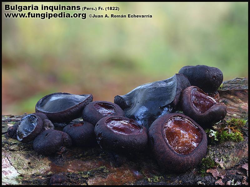 1Bulgaria_inquinans_Fotografia_2020-03-25.jpg