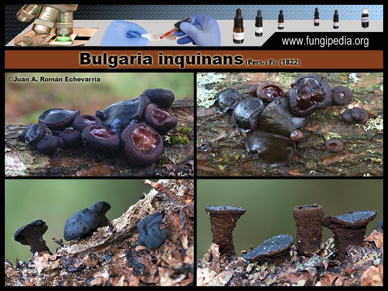 2Bulgaria_inquinans_Fotografia_2020-03-25.jpg