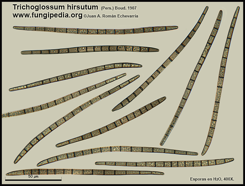 2Trichoglossum_hirsutum_Esporas_Mycroscopy.jpg