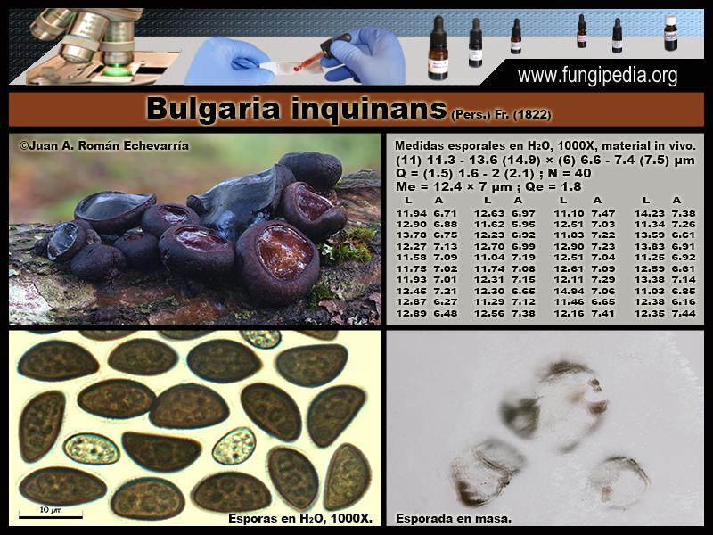3-2Bulgaria_inquinans_Microscopia_Microscopy_2020-03-25.jpg