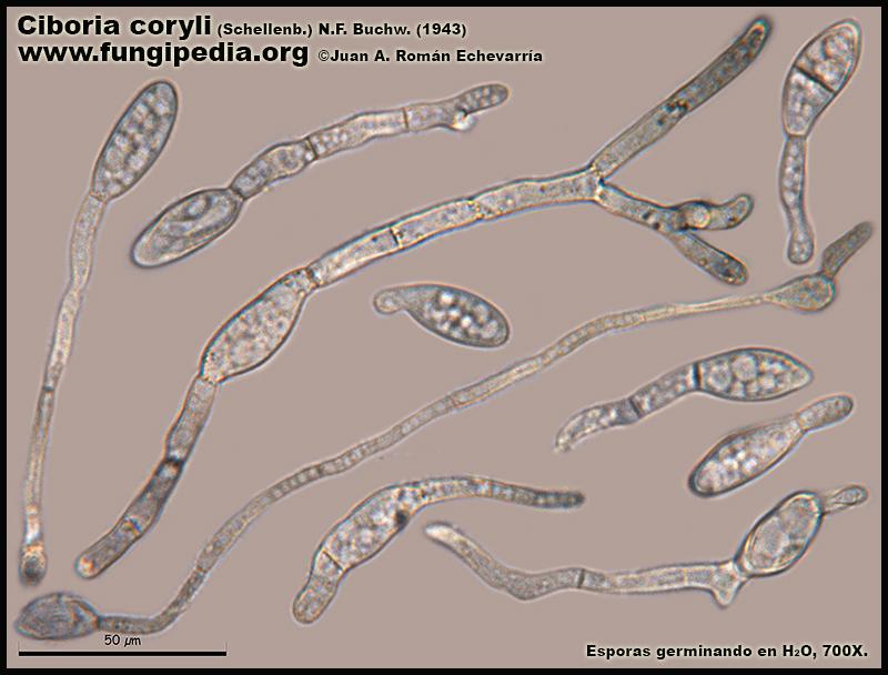 8Ciboria_coryli_Esporas_Microscopy_Microscopia.jpg