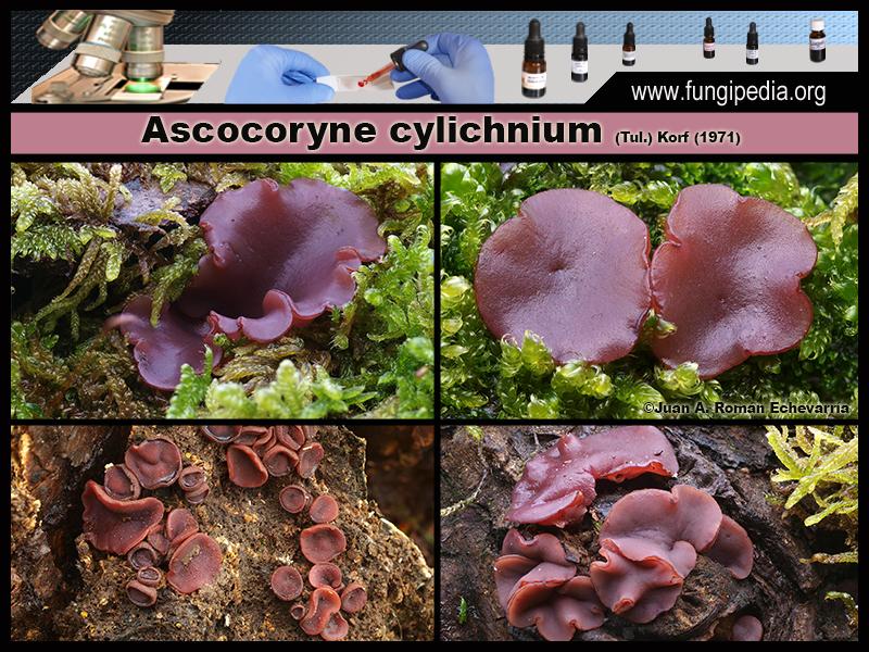 Ascocoryne_cylichnium_Fotografia2.jpg