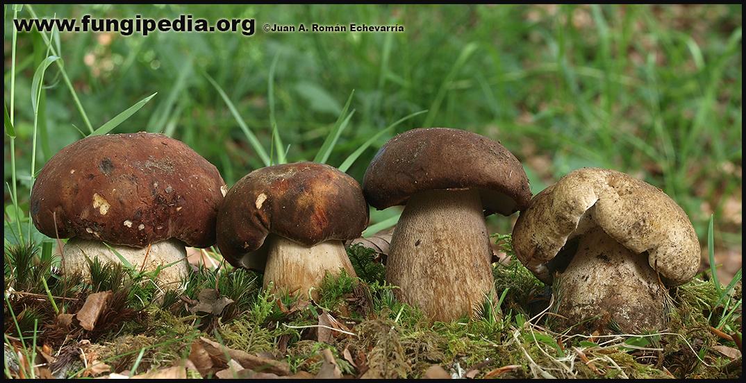 Boletus_pinophilus_aereus_reticulatus_edulis_fotografia.jpg