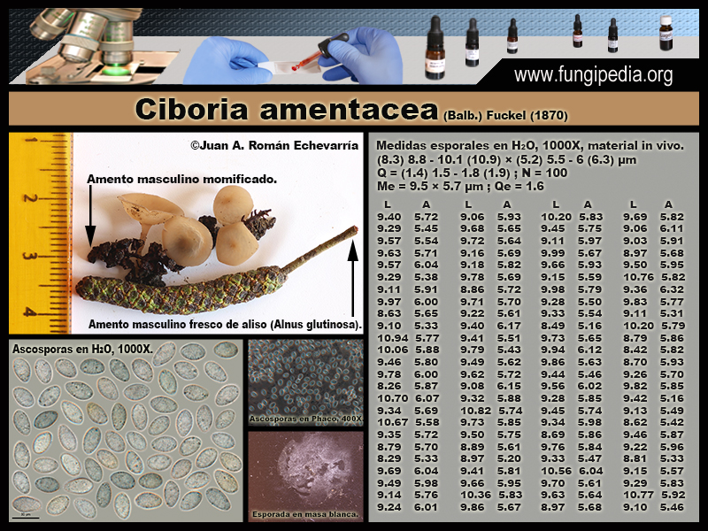 Ciboria_amentacea_Microscopy_Microscopia1.jpg