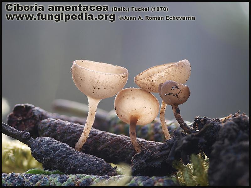 Ciboria_amentacea_Microscopy_Microscopia5_Fotografia.jpg