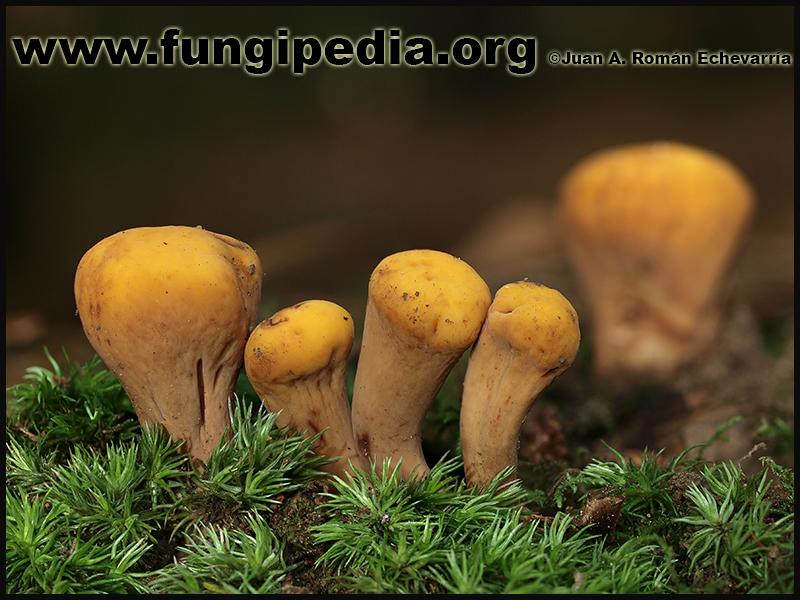Clavariadelphus_truncatus.jpg