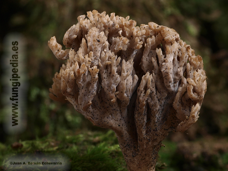Clavulina_coralloides_fotografia1.jpg