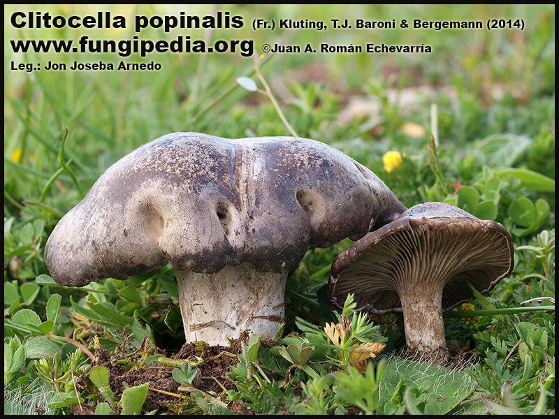 Clitocella_popinalis_Fotografia_2020-09-29.jpg