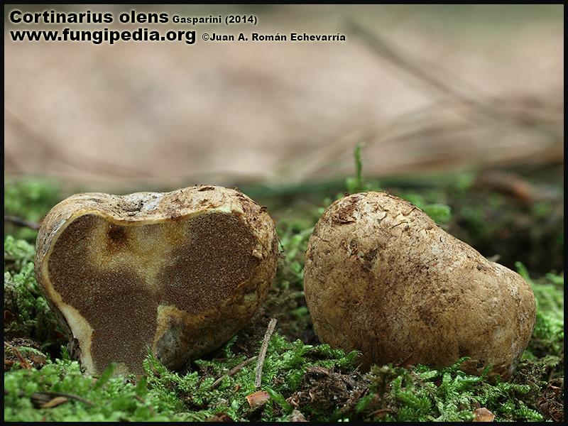 Cortinarius_olens_Fotografia.jpg