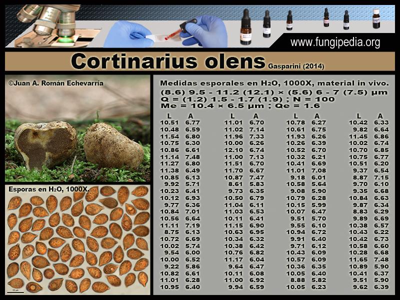 Cortinarius_olens_Microscopia_Microscopy1.jpg