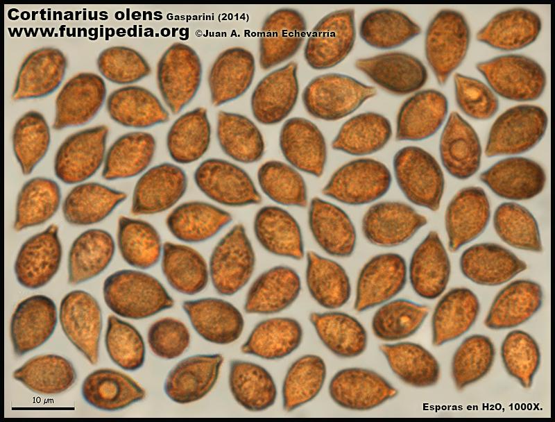 Cortinarius_olens_Microscopia_Microscopy7.jpg