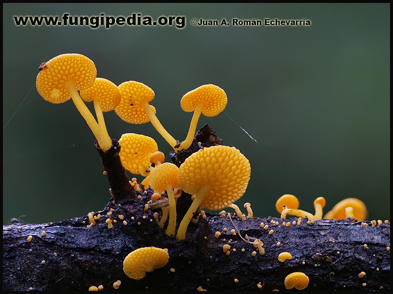 Favolaschia_calocera_Custodiada.jpg