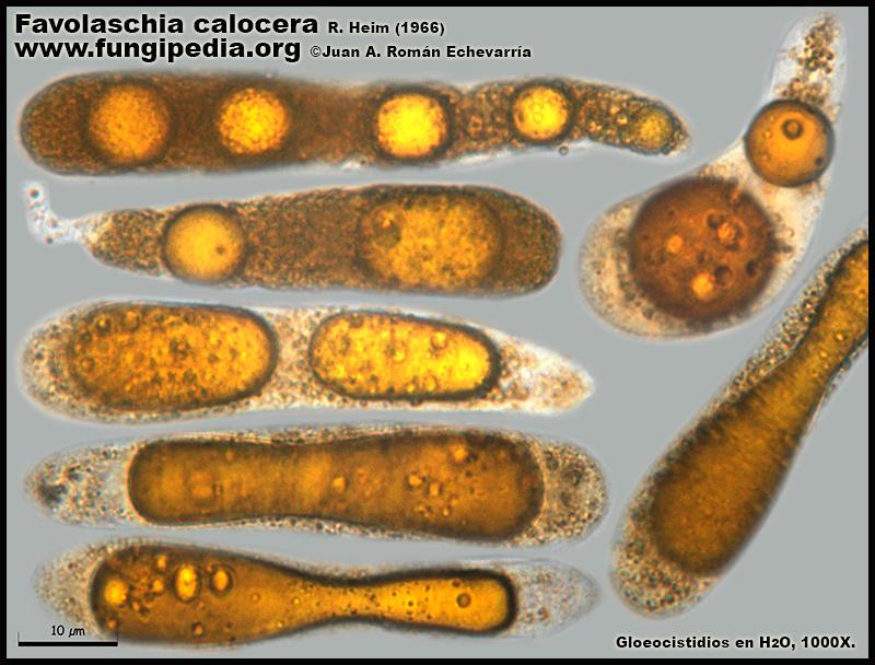 Favolaschia_calocera_Gloeocistidios_Microscopia_Microscopy6.jpg