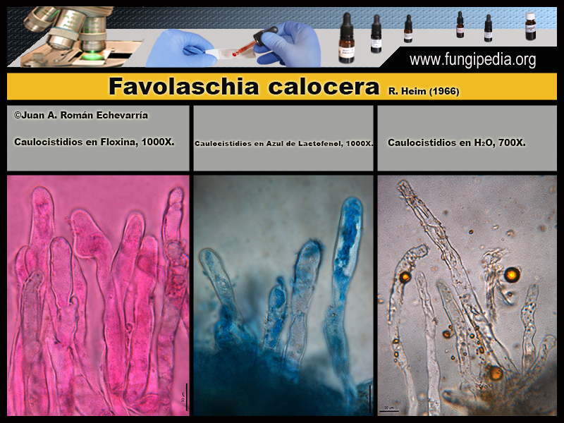 Favolaschia_calocera_Microscopia_Microscopy5.jpg