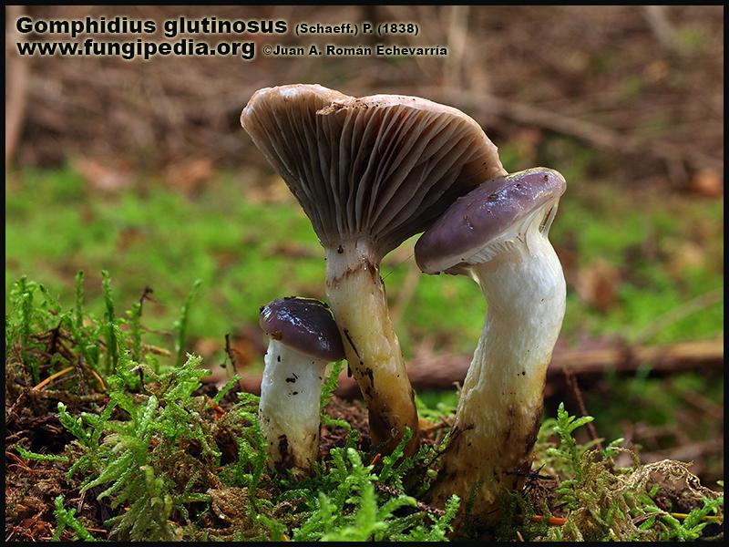 Gomphidius_glutinosus_Fotografia1.jpg