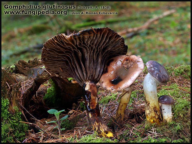Gomphidius_glutinosus_Fotografia2.jpg
