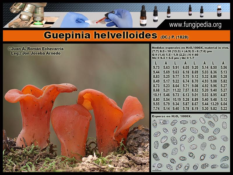 Guepinia_helvelloides_Microscopia_Microscopy.jpg