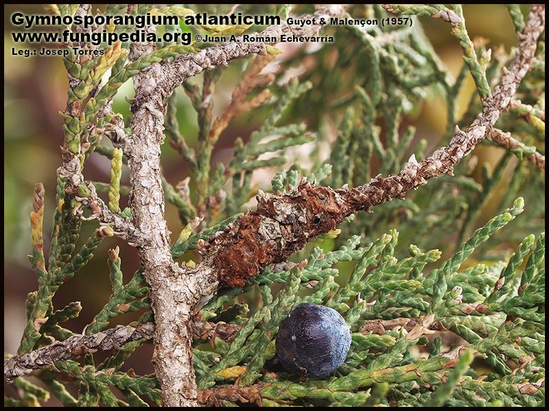 Gymnosporangium_atlanticum_Fotografia2.jpg