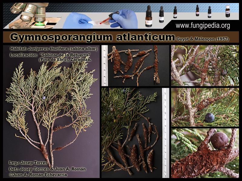 Gymnosporangium_atlanticum_Fotografia3.jpg