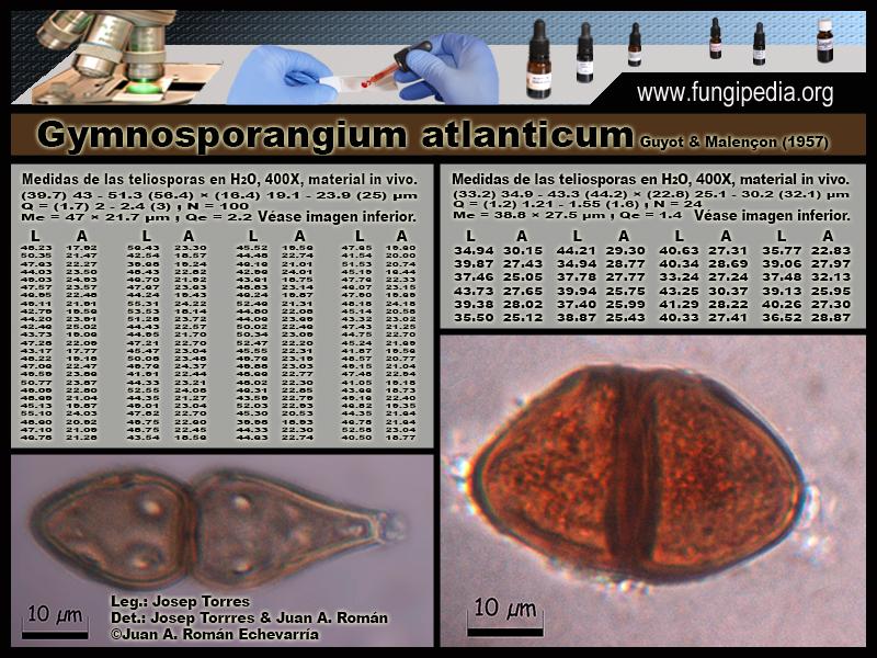 Gymnosporangium_atlanticum_Microscopia_Microscopy0-0.jpg