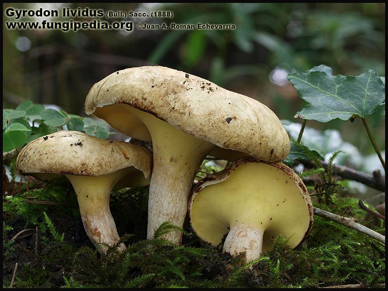 Gyrodon_lividus_Fotografia.jpg