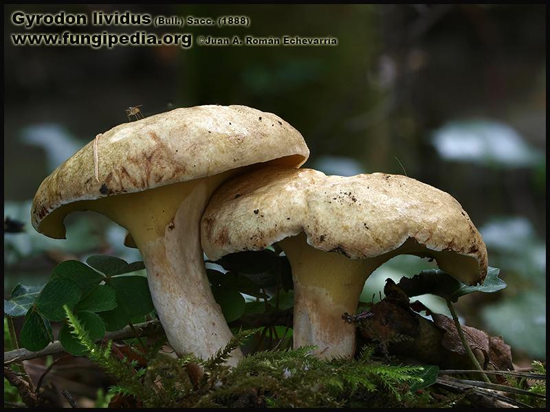 Gyrodon_lividus_Fotografia1.jpg