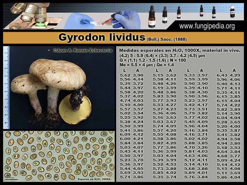 Gyrodon_lividus_Microscopia_Microscopy1.jpg