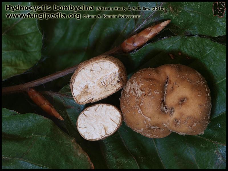 Hydnocystis_bombycina_Fotografia.jpg