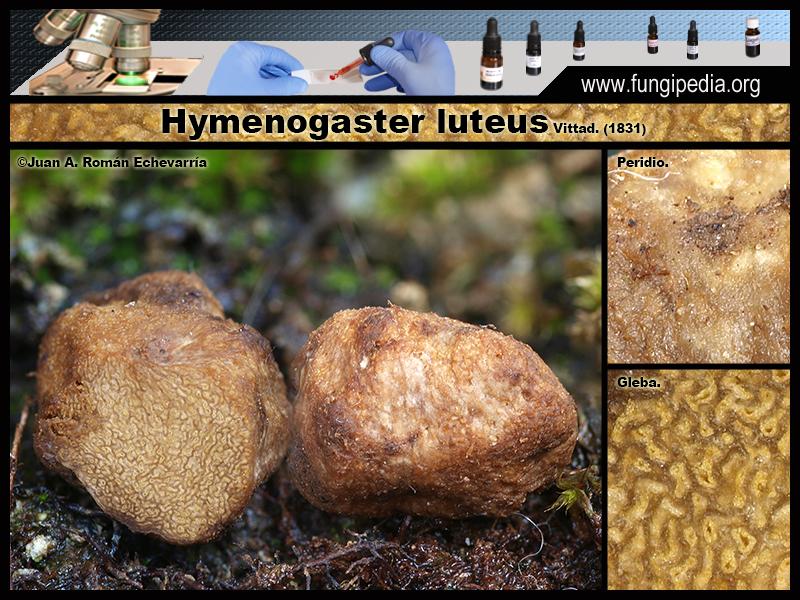 Hymenogaster_luteus_Microscopia_Microscopy1-1.jpg