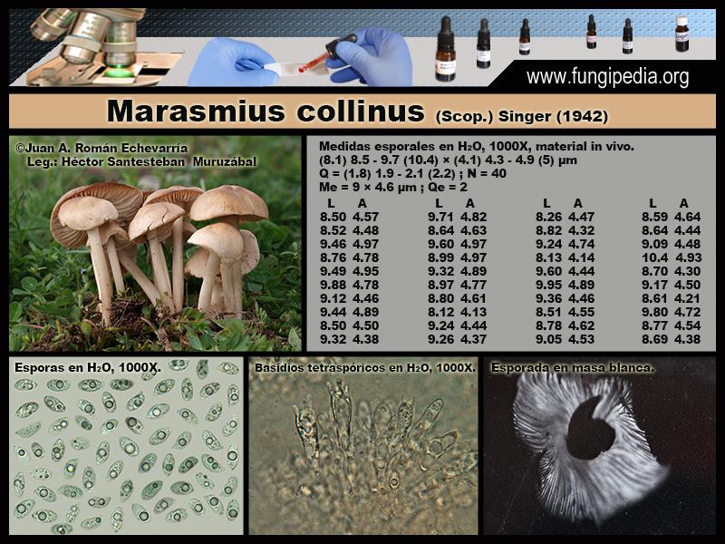 Marasmius_collinus_Microscopia_Microscopy1_2020-09-21.jpg