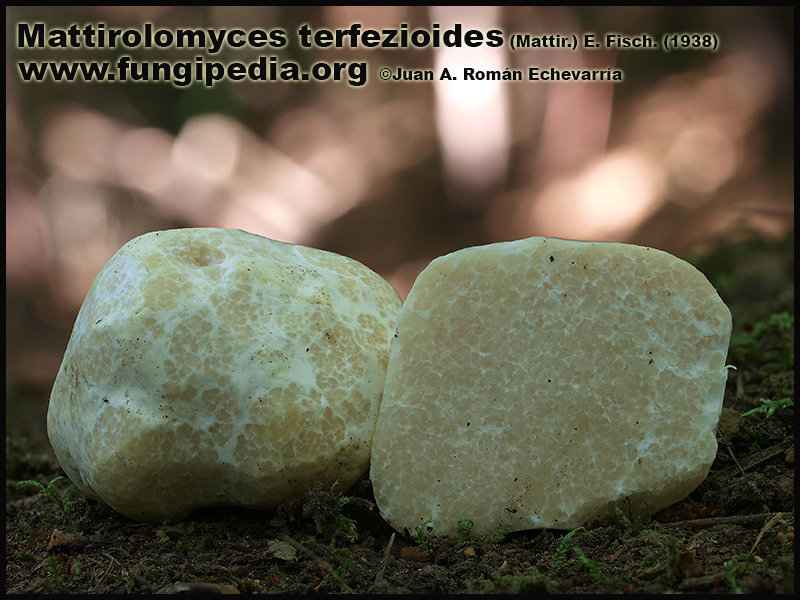 Mattirolomyces_terfezioides_Fotografia.jpg