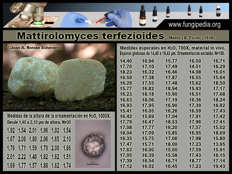 Mattirolomyces_terfezioides_Microscopia_Microscopy1-1.jpg