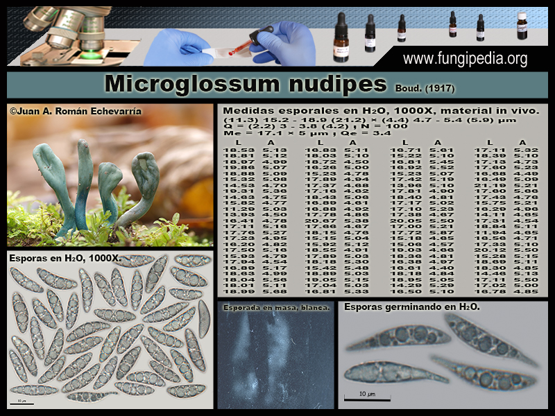 Microglossum_nudipes_Microscopia_Microscopy1.jpg