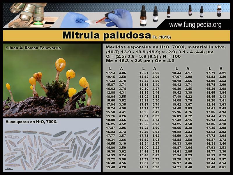 Mitrula_paludosa_Microscopia_Microscopy1.jpg