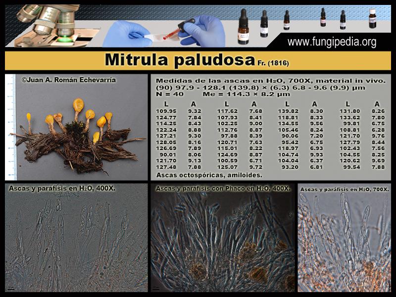 Mitrula_paludosa_Microscopia_Microscopy2.jpg