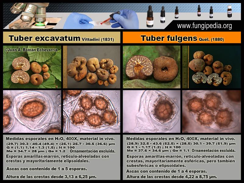 TUBEREXCAVATUM-TUBERFULGENS.jpg