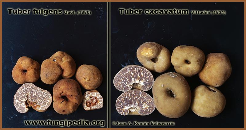 TUBEREXCAVATUM-TUBERFULGENS1.jpg