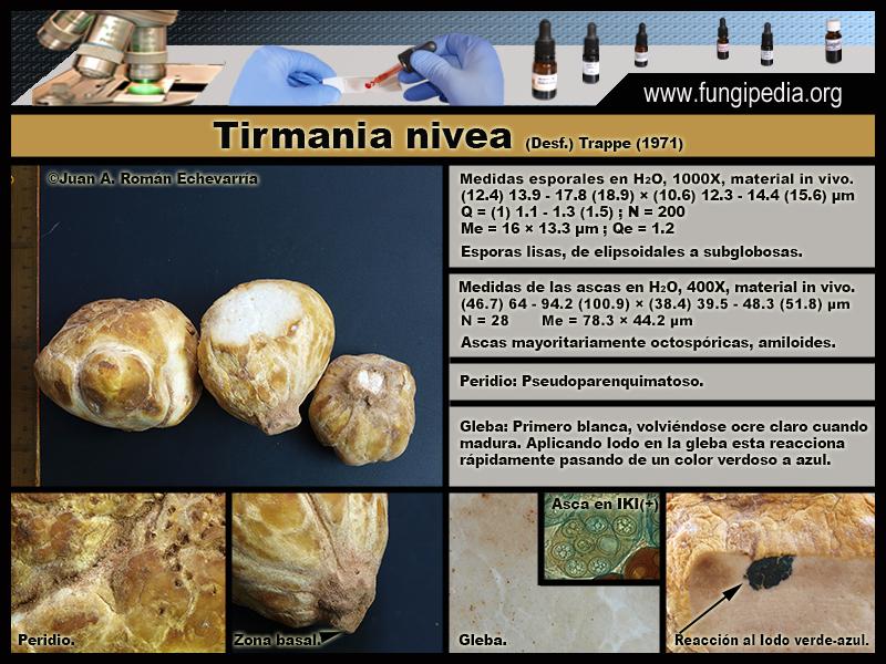 Tirmania_nivea_Microscopia_Microscopy0-2.jpg