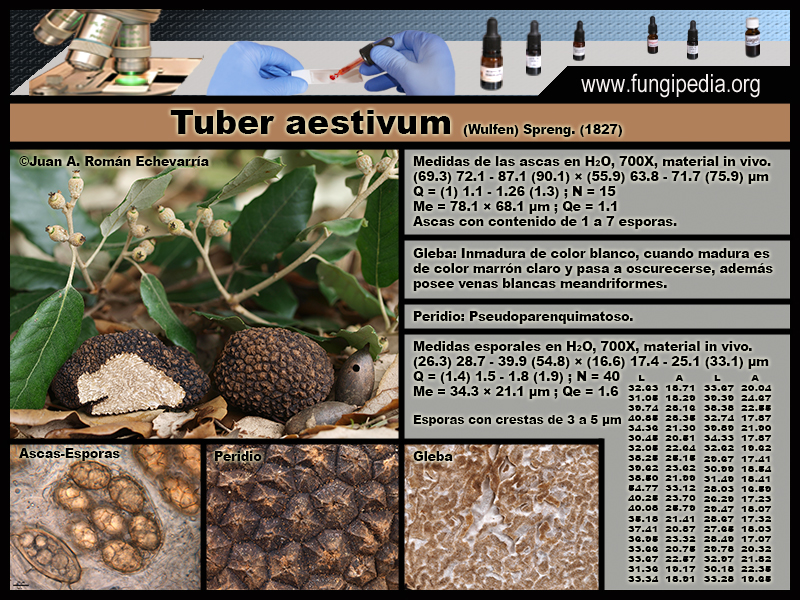 Tuber_aestivum_Microscopia_Microscopy.jpg
