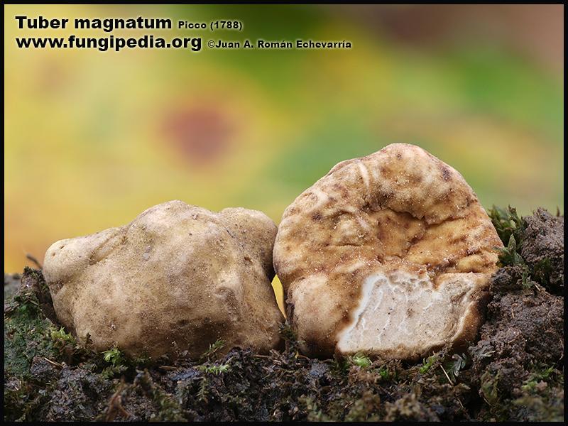 Tuber_magnatum_Fotografia.jpg
