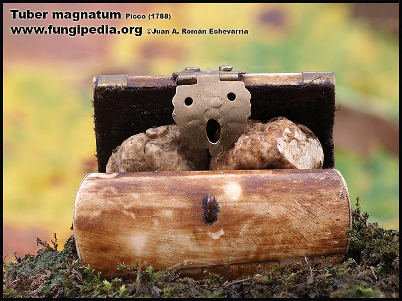 Tuber_magnatum_Fotografia1.jpg
