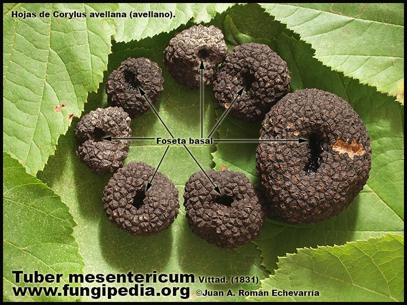 Tuber_mesentericum_foseta_basal_Fotografia.jpg