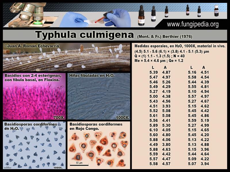 Typhula_culmigena_Microscopia_Microscopy.jpg